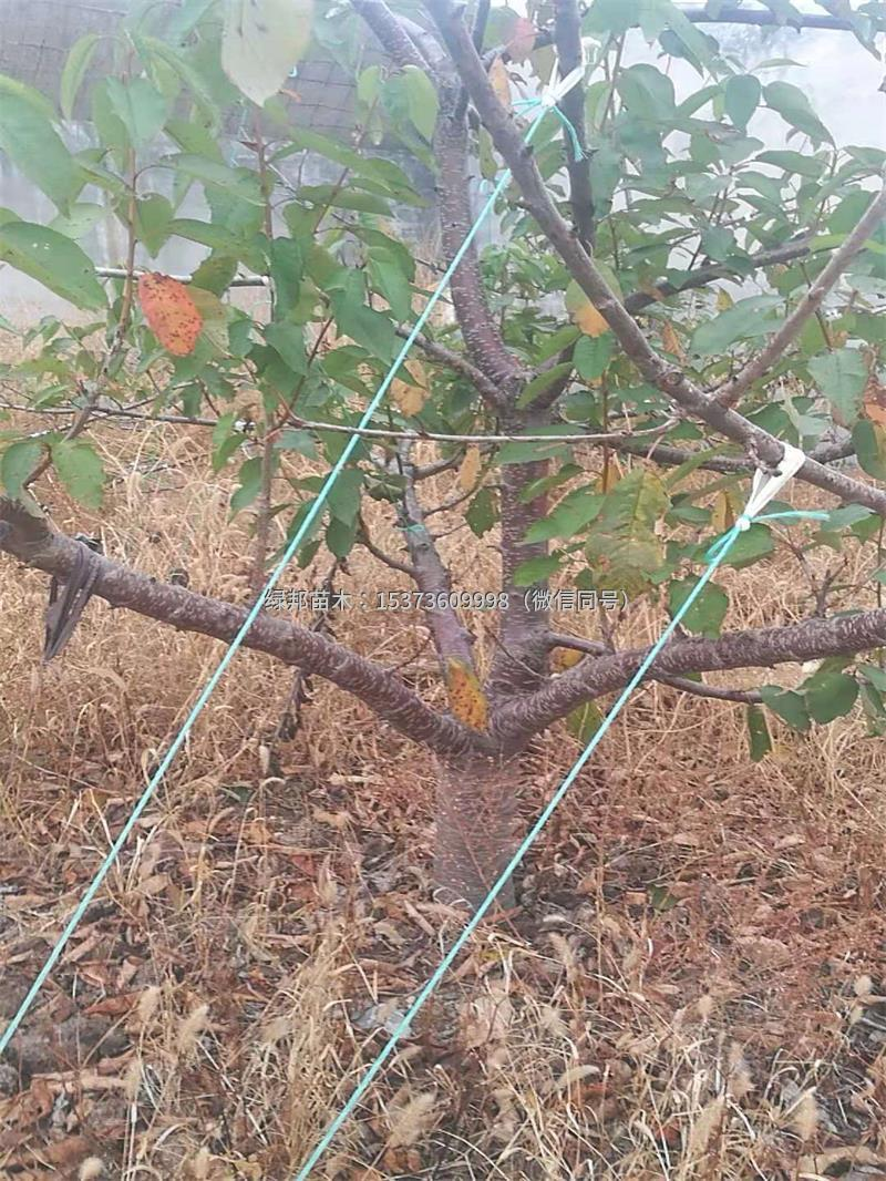 占地樱桃树,结果樱桃树2000棵