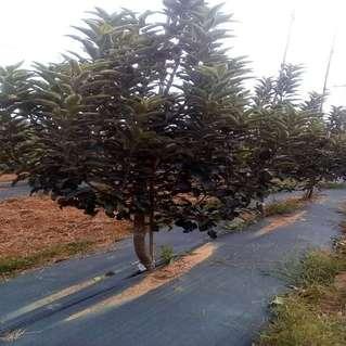 密植苹果树