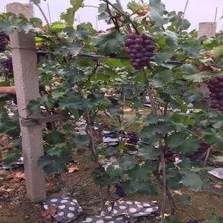 葡萄树新品种