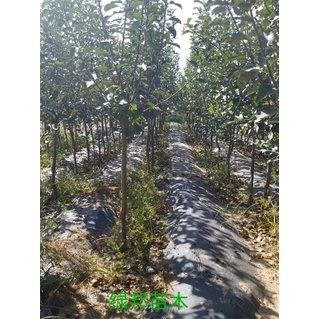 矮化苹果树